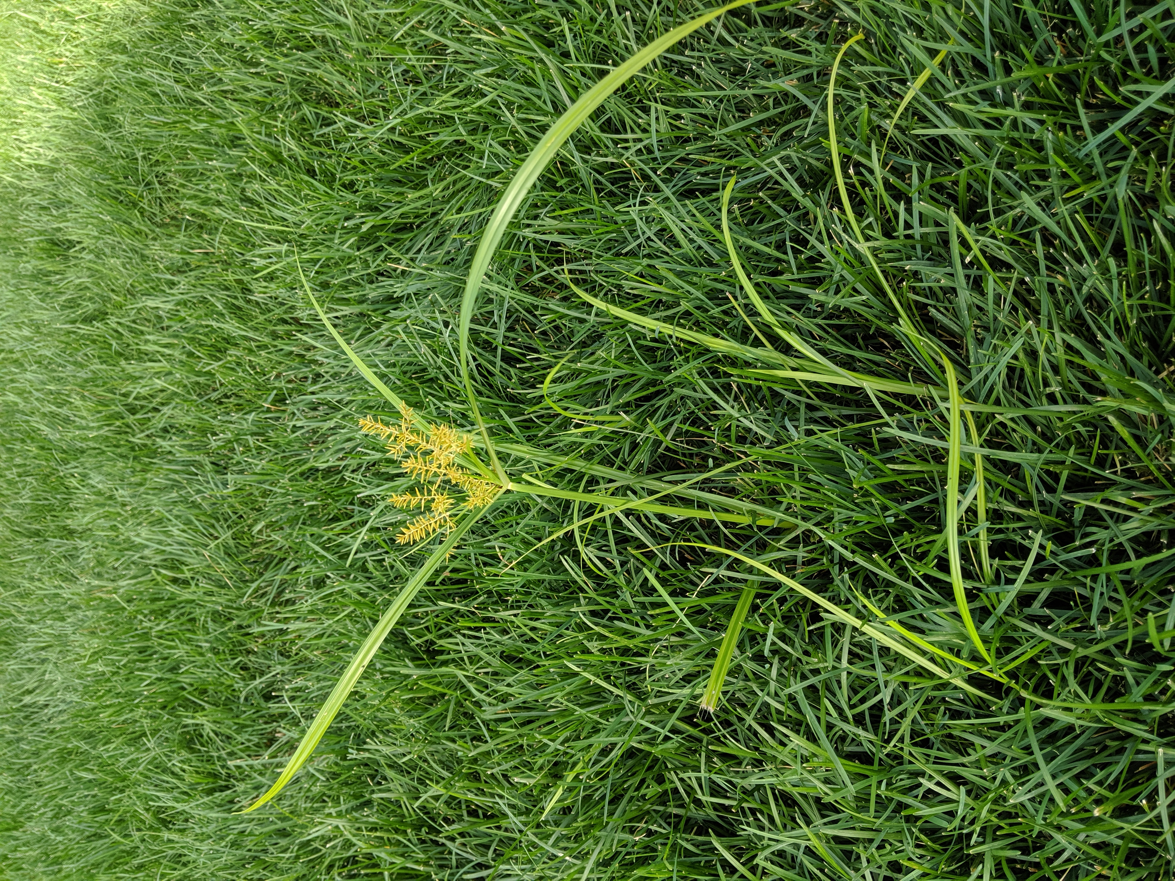 Photo of Yellow nutsedge